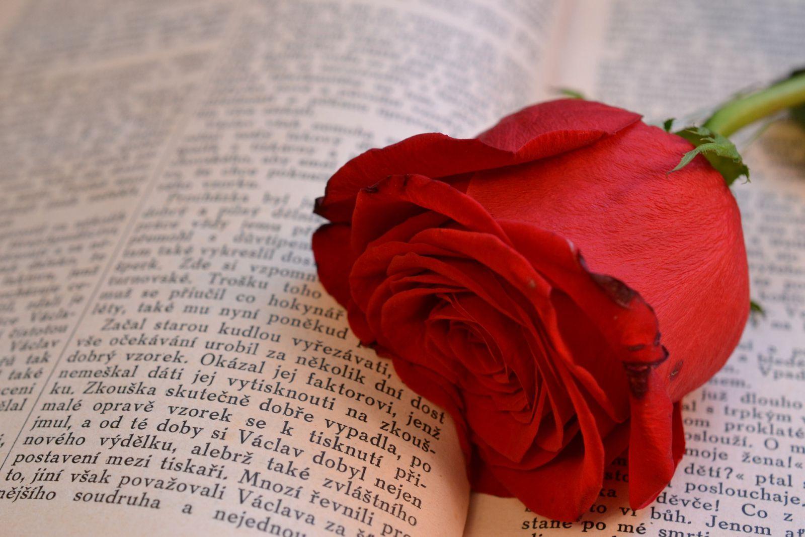 na zdjęciu czerwona róża położona na otwartej książce